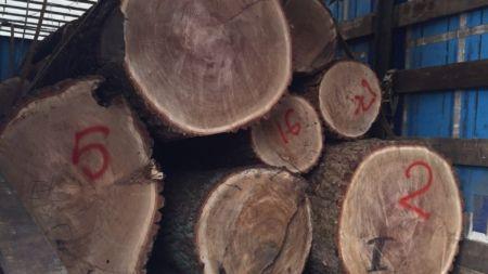 Із Житомирщини намагалися вивезти колоди столітніх дубів вартістю у більш ніж півмільйона гривень (ФОТО)