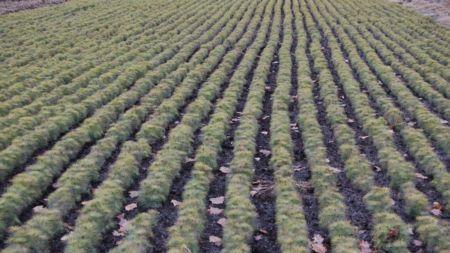 Лісівники цьогоріч садитимуть липу, горіх, абрикос, каштан, катальпу