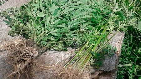 У Бердичівському районі чоловік виростив чверть тонни коноплі