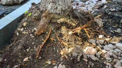 Жах! Разом із асфальтом ремонтники викопують дерева на вулиці Київській (ФОТО)