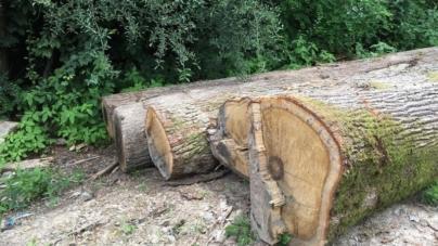 В області вкрали дубів більше, ніж на півмільйона гривень