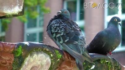 У Житомирі просять почистити фонтан від голубів