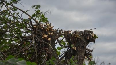 Енергетики спотворили дерева по вул. Князів Острозьких (ФОТО)