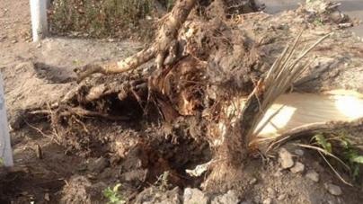 У Житомирі вітер вирвав з корінням величезні тополі (ФОТО)