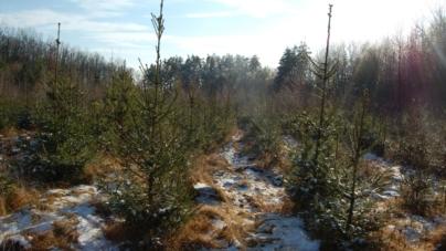 Майже 700 тисяч новорічних ялинок виростили лісівники Житомирщини
