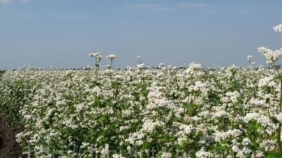 Підприємства області отримають кошти за вирощування льону та гречки