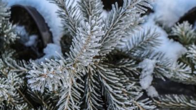 Житомирянин пропонує міськраді посадити новорічну ялинку і щороку заміряти її висоту