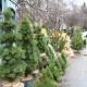 Стало відомо, де у Житомирі можна буде купити новорічні ялинки