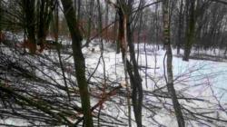 90 грабів четверо лісорубів-нелегалів вирізали біля свого села у Лугинському районі