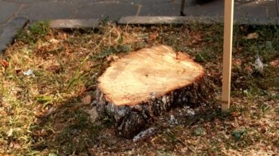 1000 аварійних дерев планують зрізати у Житомирі