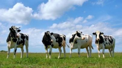 Здавати худобу на Житомирщині стали рідше, – статистика