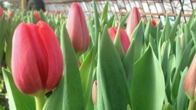 Ого! У Житомирі розквітли тюльпани (ФОТО)
