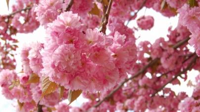 Посол Японії в Україні висадить сакури на Михайлівській