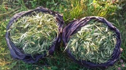 У Чуднівському районі молодики заготовили для себе 16 кг коноплі
