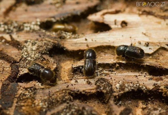 Рідкісні види рослин і тварин на Житомирщині зникнуть через жука-короїда, – науковці