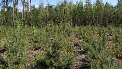 Понад 25 мільйонів дерев посадили лісівники області цієї весни