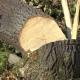 """""""Укрзалізницю"""" змусили сплатити понад півмільйона двом сільрадам на Житомирщині за незаконну вирубку дерев"""