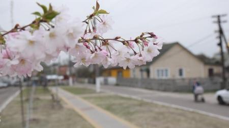 В Олевську зацвіли 20 сакур (ФОТО)
