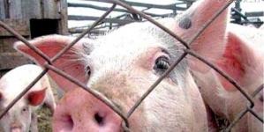 Чума: на ринках Бердичева заборонять продавати свинину та знищать безпритульних тварин