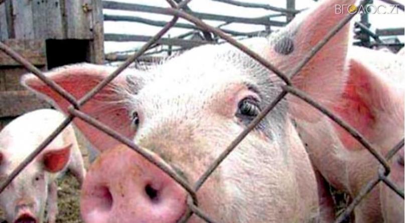 На Житомирщині зафіксували спалах «свинячої чуми»