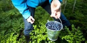 На півночі області хлопця та дівчину, які збирали ягоди, покусали гадюки