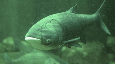 У Тетерів запустять понад 6 тонн риби