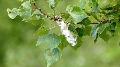 Житомирянка просить міськраду замінити усі дерева, які викликають алергію
