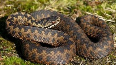 У Коростенському районі жінка, яку вкусила змія, потрапила до реанімації