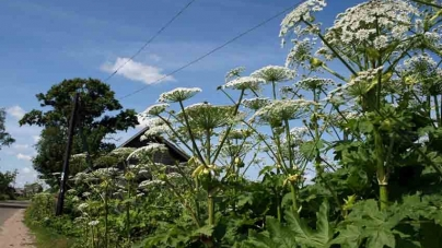 Житомиряни скаржаться, що «спальні» райони міста стрімко захопили отруйні рослини