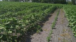 На Житомирщині поліція затримала підпільного «агронома» під час обробки ним конопляних насаджень