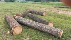"""У Ємільчинських лісах банда """"чорних"""" лісорубів знищила дубів майже на півмільйона"""