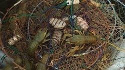 З 15 липня ловців раків штрафуватимуть на майже 700 гривень