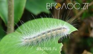 Через зараження «американським метеликом» у 6 районах області ввели карантин
