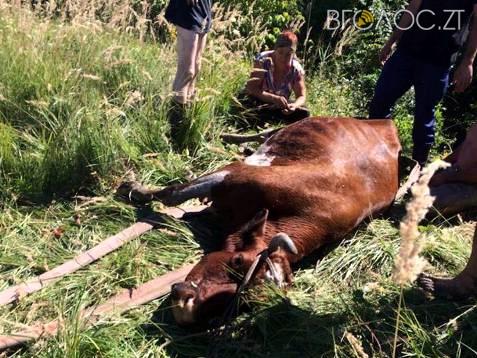 На Житомирщині корову, яка зірвалася з обриву і впала в річку, діставали 9 чоловіків
