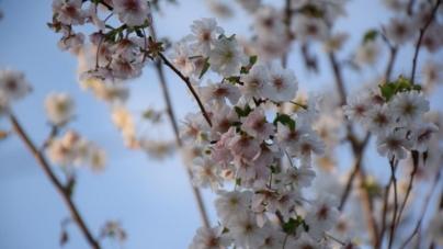 Природна аномалія: в Олевську вже вдруге за рік зацвіли сакури