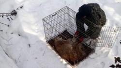 «Домашня» рись, яку знайшли у гідропарку, житиме у Рівненському зоопарку