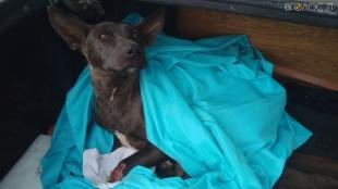 У Новограді собаку, яка вижила на вулиці з відрубаними лапами, усипили лікарі