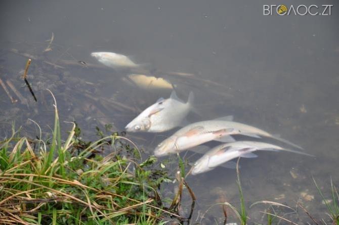 У Баранівці річку Случ вкрила мертва риба