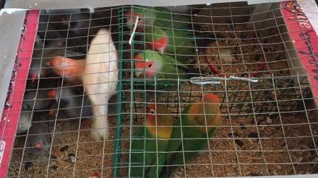 Житомирські прикордонники затримали чоловіка, який намагався перенести до Білорусі понад 150 папуг