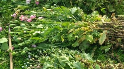 Понад тисячі рослин снодійного маку за вихідні вилучила поліція у жителів області