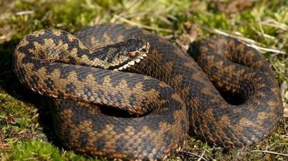 5-річна дівчинка, яку на подвір'ї вкусила змія «мідянка», потрапила до реанімації