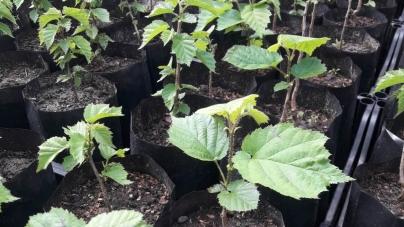 Житомирські лісівники взялися вирощувати горіхи, які ростуть на Балканах