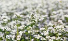 Лідер з виробництва гречки – Житомирщина – скоротила цьогоріч площі посівів на 20%