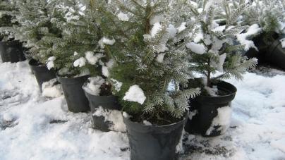 Лісівники розповіли, скільки коштуватимуть новорічні ялинки на Житомирщині цьогоріч
