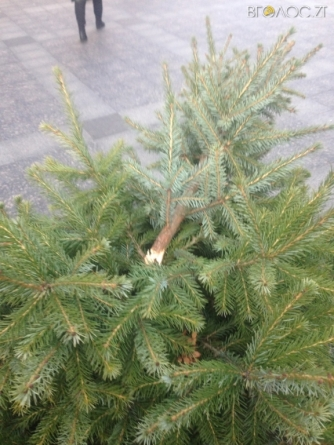 На Михайлівській у Житомирі вночі невідомі зламали ялинки