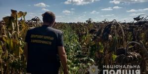Житомирщина: на полі з соняхами виявили плантацію коноплі