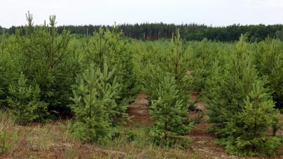 Майже 400 тисяч різдвяних ялинок виростили лісівники області